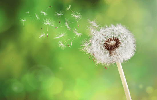 Dandelion seeds cause nasal allergies during allergy season in Melbourne, FL